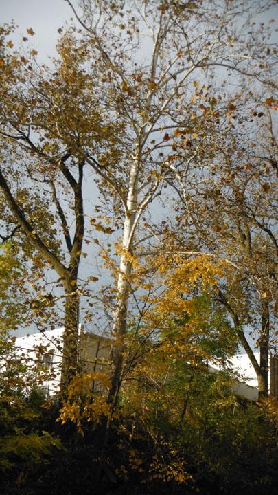Birch Tree along Swan Creek 11-04-2013